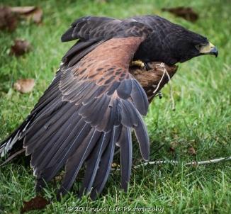 10 22 17 Harris Hawk (17 of 22)
