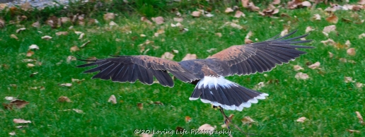 10 22 17 Harris Hawk (8 of 22)