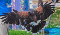 10 22 17 Harris Hawk (9 of 22)