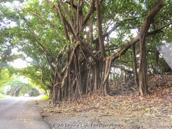11 15 17 Banyan trees at the hotel entrance (1 of 5)