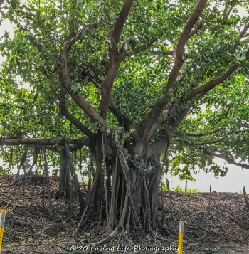 11 15 17 Banyan trees at the hotel entrance (2 of 5)