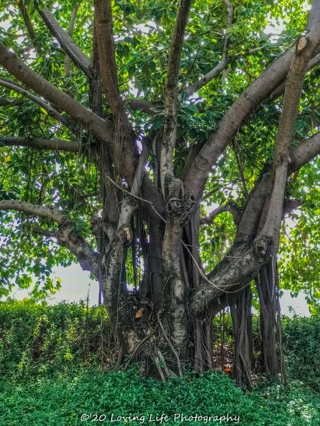 11 15 17 Banyan trees at the hotel entrance (3 of 5)