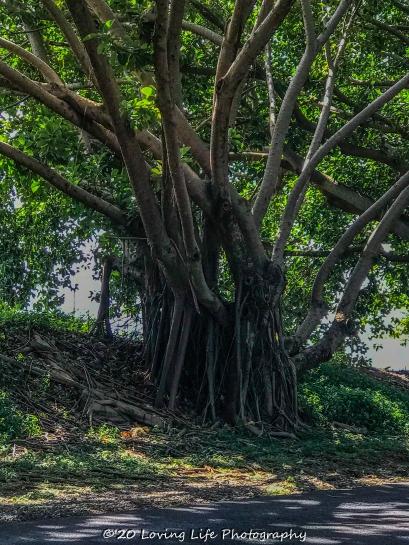 11 15 17 Banyan trees at the hotel entrance (4 of 5)