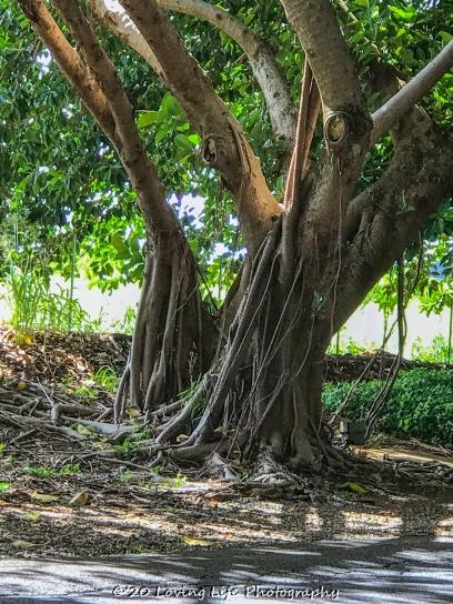11 15 17 Banyan trees at the hotel entrance (5 of 5)